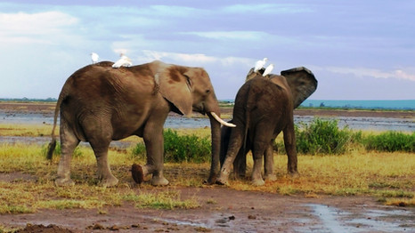 two elephants with egrets on their backs