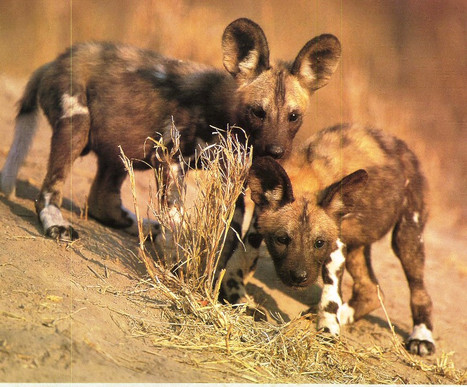 wild-dog-pups-600.jpg
