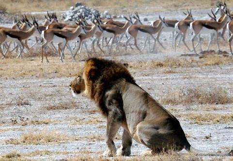 makgadi lion and springbok.jpe