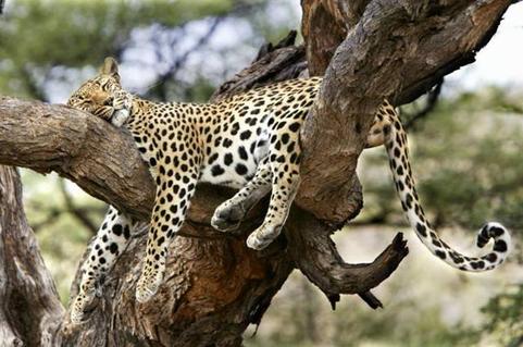 lazy leopard.bmp