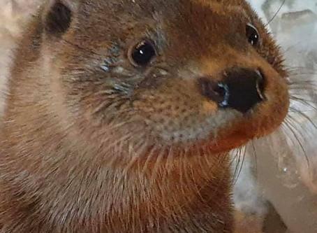 Odra the otter