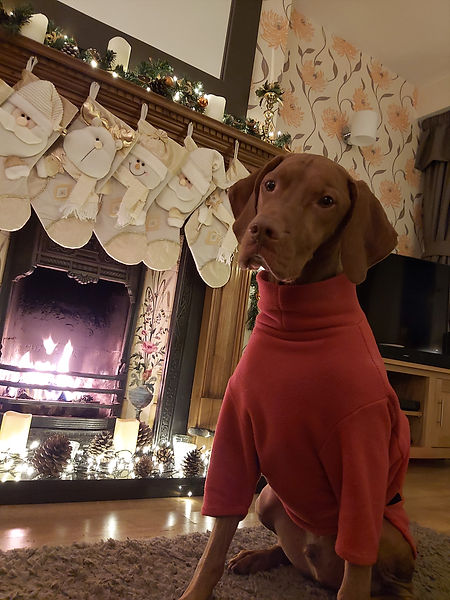 LiveWire Pet Supplies are Yorkshire's premier Hotterdog Dog Product Supplier, with the help of our Hungarian Vizsla Harvey!