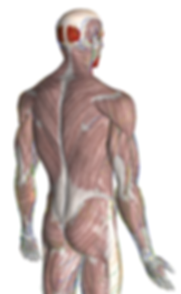 Fascial System