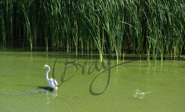 Great Egret at Port Aransas