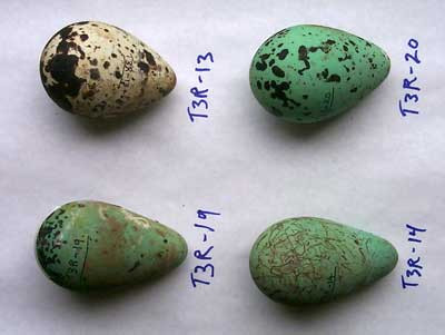 Common Guillemot (Uria aalge) Eggs via Wiki Public Domain