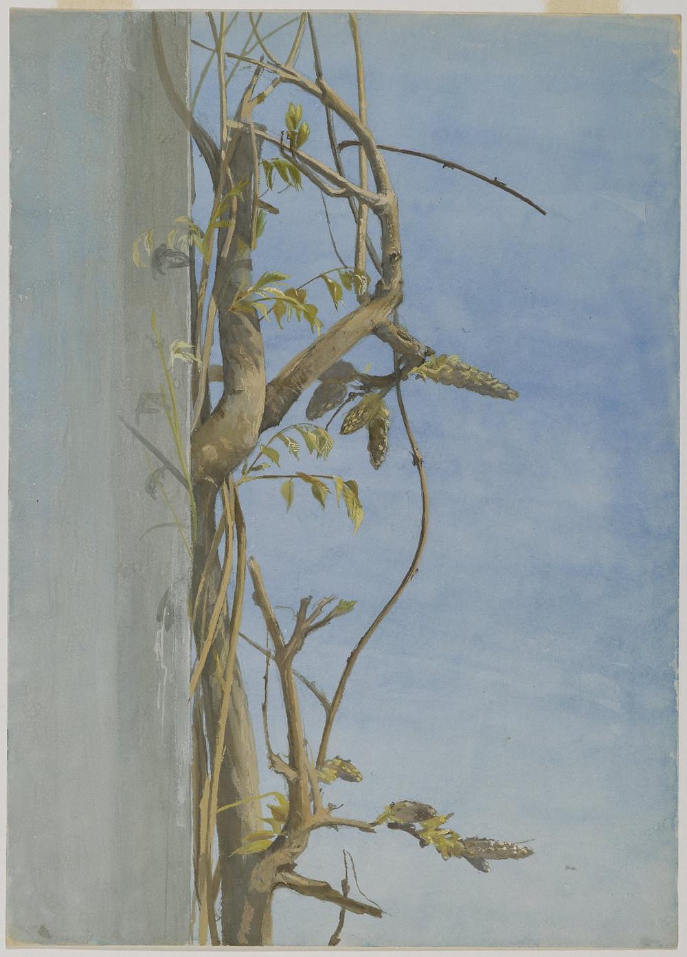Wisteria on a Wall (1870s) by Fidelia Bridges (1834 - 1923)