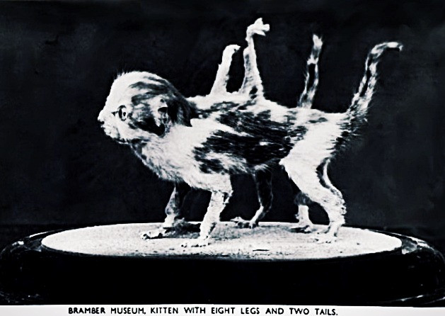 Tales of Taxidermy and Whimsy: Modern art from the Victorian era | Eight-Legged Kitten by Walter Potter (1835 – 1918)