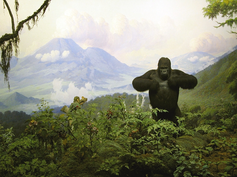 Tales of Taxidermy and Whimsy: Modern art from the Victorian era | Gorilla diorama is one of Akeley's dioramas, which is on display in the American Museum of Natural History.