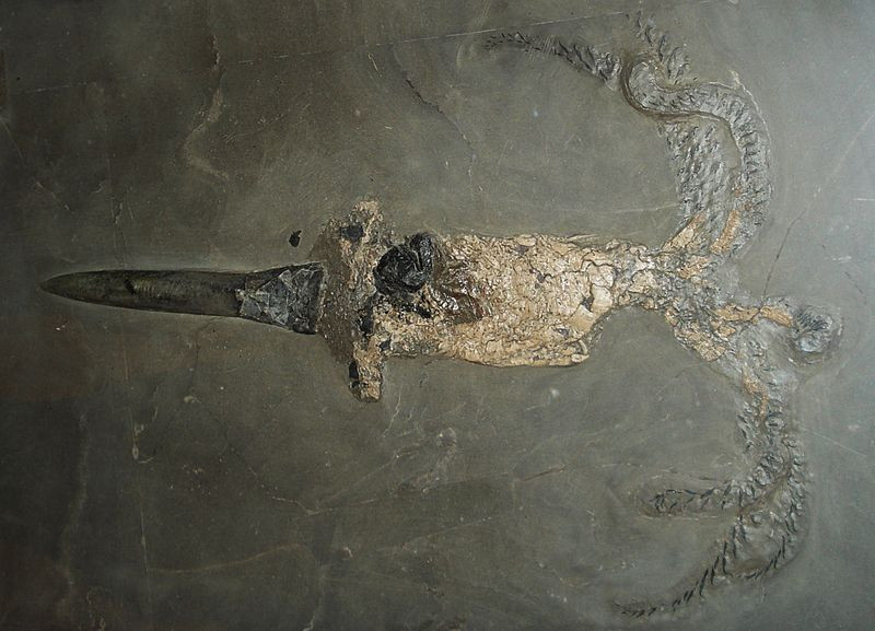 Fossil of Passaloteuthis Bisulcata at the Urwelt Museum Hauff Holzmaden | Credit Ghedoghedo via Wiki CC BY-SA 3.0