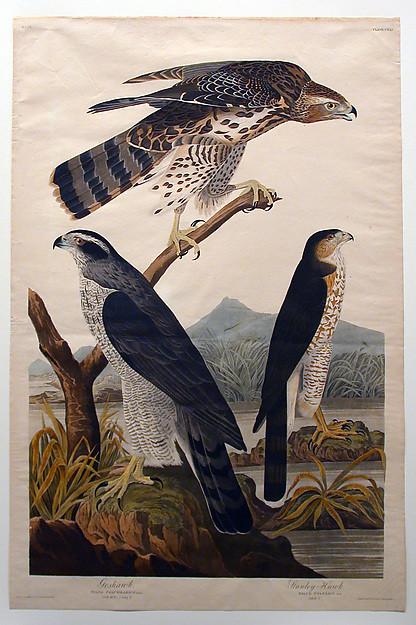 "Nature As Art's Greatest Model | ""Goshawk, Stanley Hawk (No. 29)"" by John James Audubon (1830)"