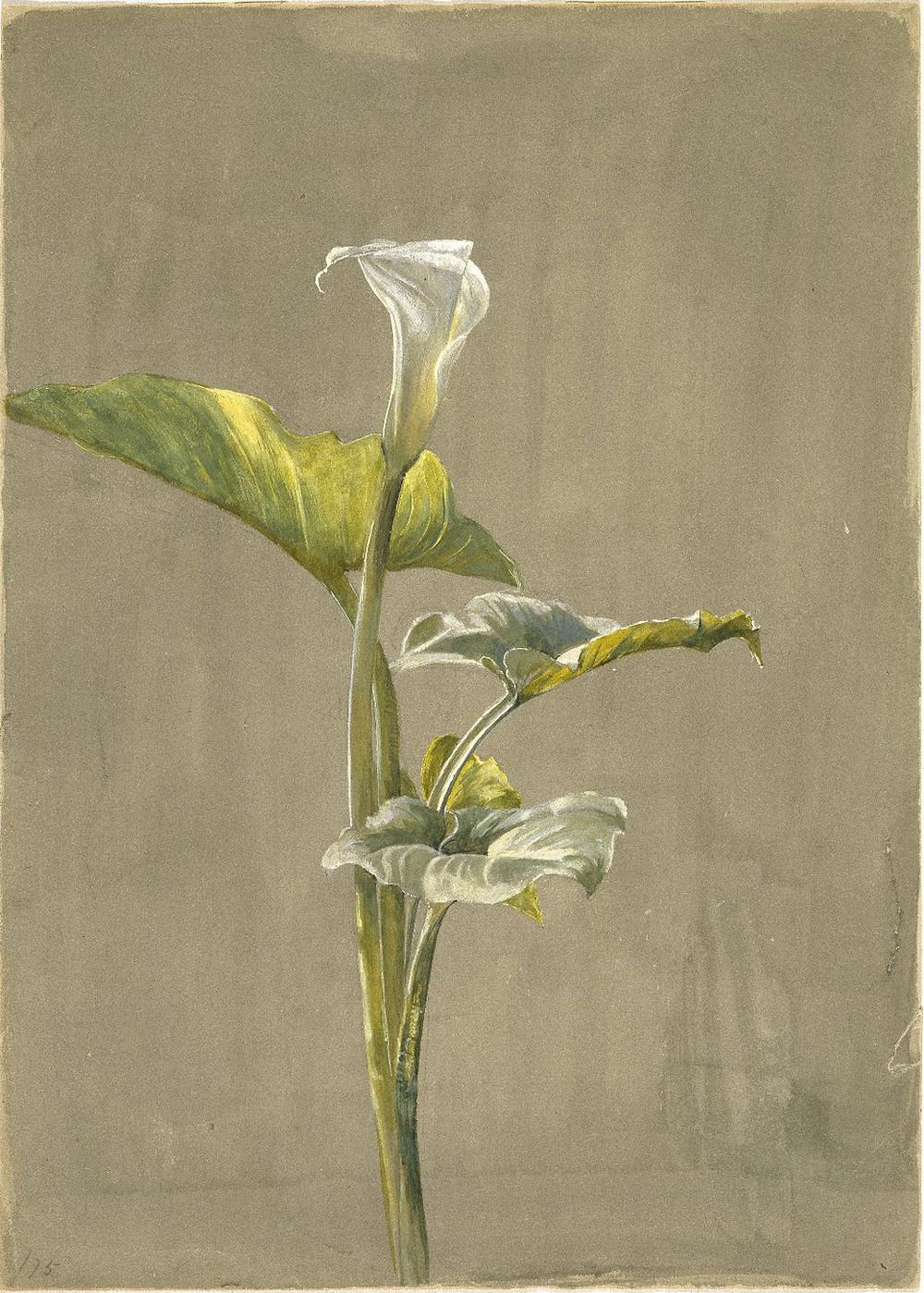 Calla Lily (1875) by Fidelia Bridges (1834 - 1923)