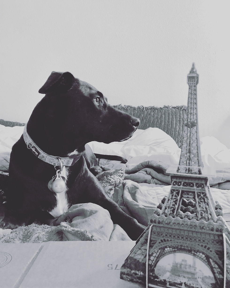 A black dog in collar sitting on a bed next to a small Eiffel Tower model