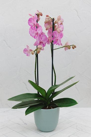 Phalaenopsis mit passenden Übertopf