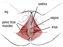 The female pelvic floor - what it is and why it is important