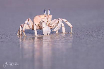 Crabe rose