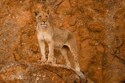 La reine lion .