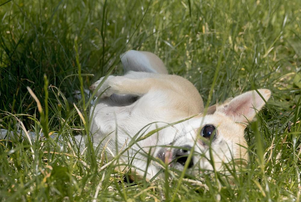 Tierfotografie, Chihuahua