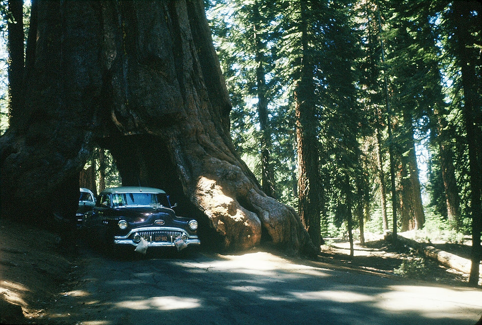 Redwood tree 1953.jpg