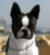 EROS, Hecuba boston terrier.jpg