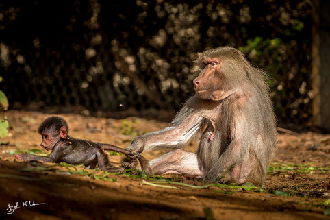 Where do you think you're going, young baboon?