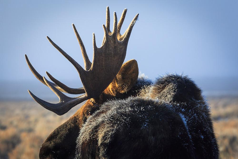 jackson hole moose