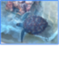 cayman isl turtle.png