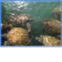 green turtles c.i..png