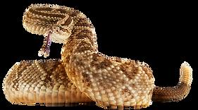 rattlesnake crotalus durisus durisus