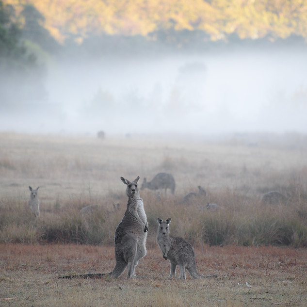 Early morning with the kangaroos
