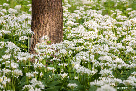 Pendarves Wild Garlic