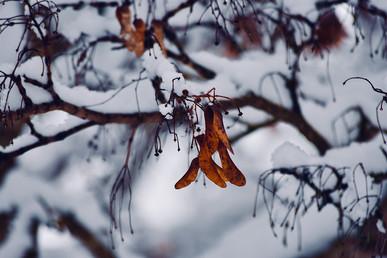 DSC_0487 snowy dangles web.jpg