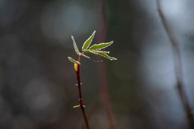 DSC_0073 droplet bud web.jpg