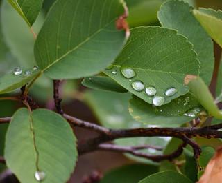 DSC_0030 5 drop leaf web.jpg