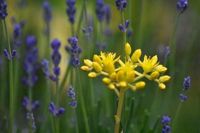 DSC_2184 laveder w yellow web.jpg