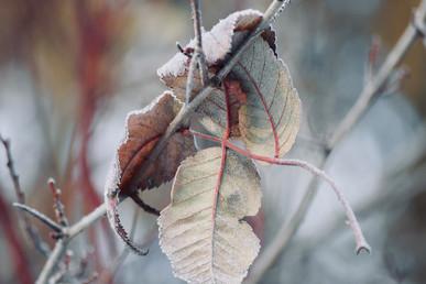 DSC_0607 frosty leaves web.jpg