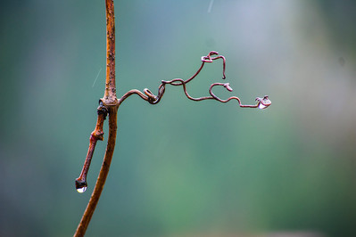 DSC_1660 curly branch w raindrop web.jpg