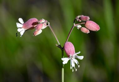 DSC_1644 medow flower web.jpg
