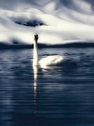 single swan winter