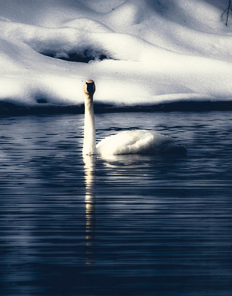 single swan winter