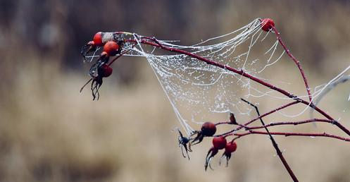DSC_0044 rosehip cobwebs web.jpg