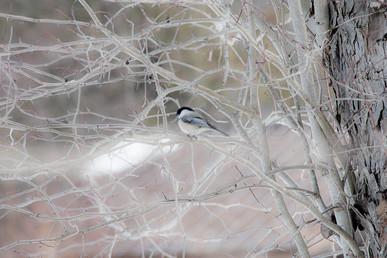 DSC_0431 bird on winter bush web.jpg