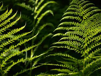 DSC_1497 ferns web.jpg