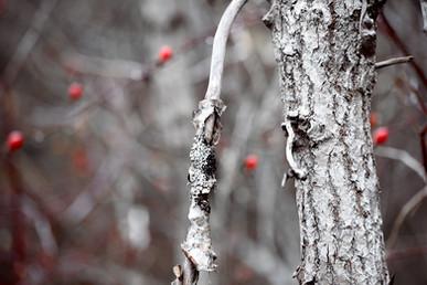 DSC_0113 white birch red rosehip web.jpg