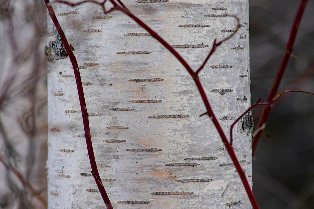 DSC_0027 birch and red web.jpg