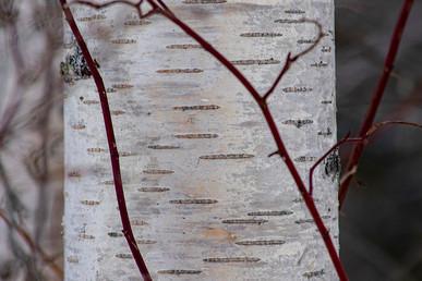 DSC_0027 birch and red web.jpg