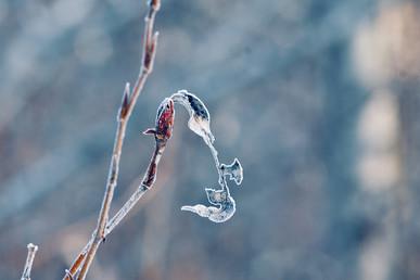DSC_0595 frosty leaf bud 2 web.jpg