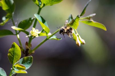 DSC_0099 bee flying close web.jpg