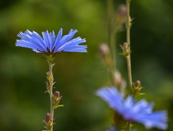 DSC_0052 blue invasive beauty web.jpg
