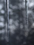 2 dripping icicles