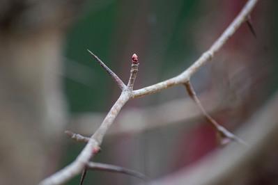 DSC_0988 hawthorn bud 2 web.jpg